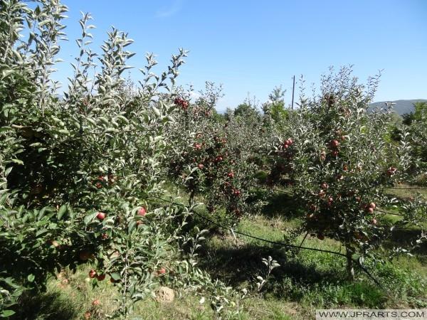Verger de Pommiers à Resen (Macédoine)