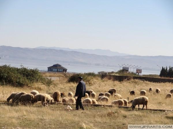 moutons éleveur en Albanie