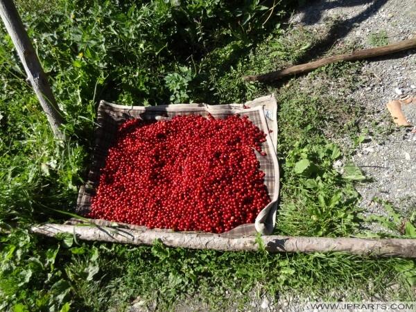 essbare Beeren Mazedonien