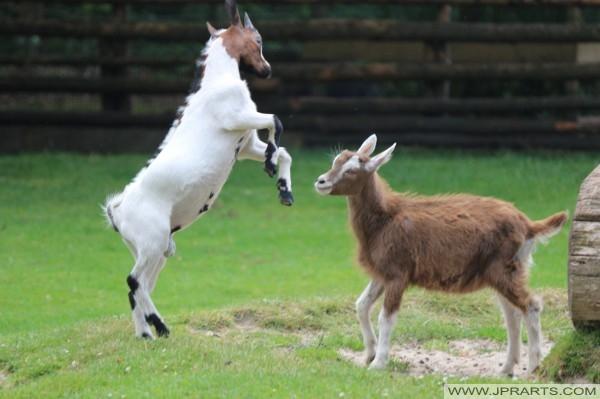 vechtende geitjes in kinderboerderij de Hofstede in Assen, Nederland