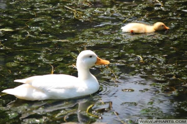 weiße Ente mit Baby im Streichelzoo Assen, Niederlande