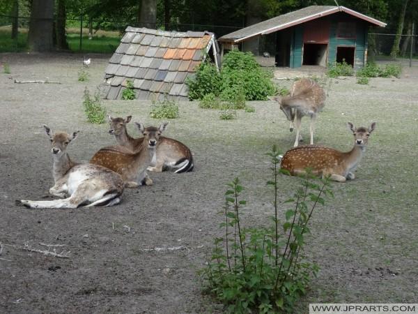 在德尔纳,荷兰鹿
