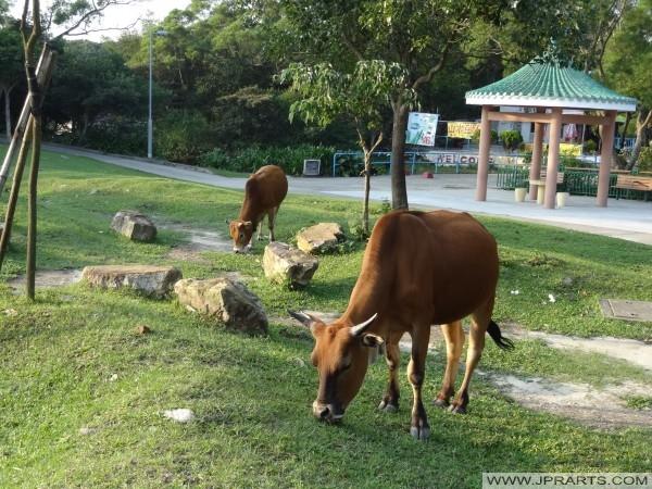 Rinder in Ngong Ping 360, Hongkong