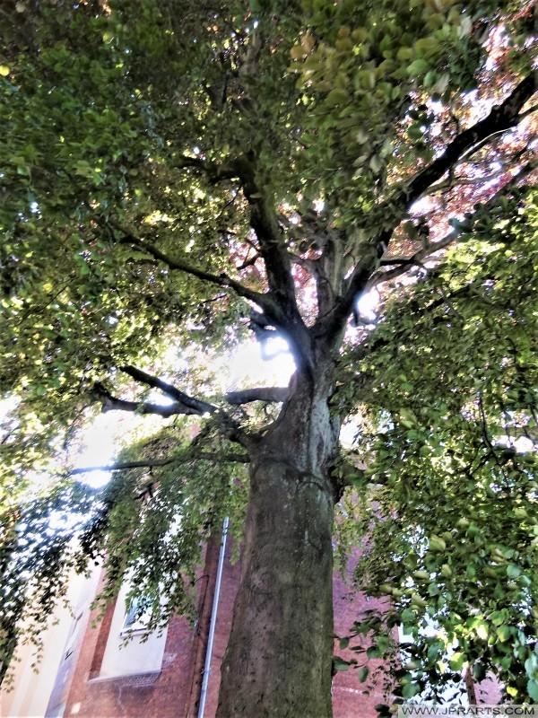 Oudste boom (gefotografeerd in 2014) in Leeuwarden, Nederland