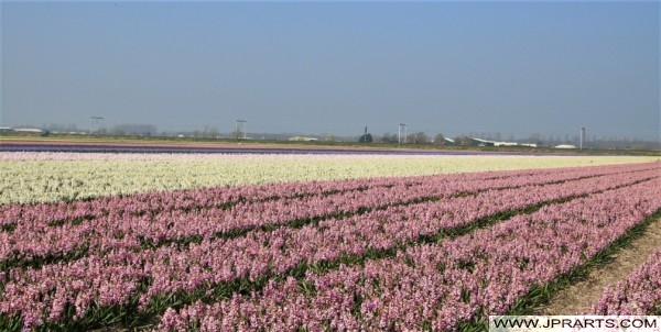 Hyacinten in de Bollenstreek, Nederland