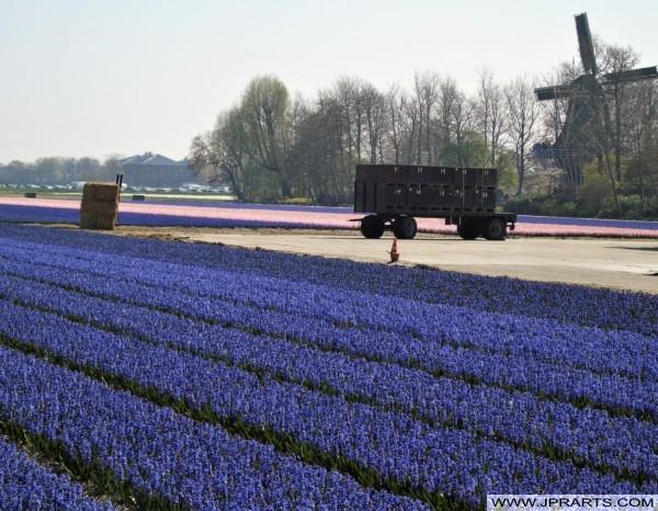Krokussen in de Bollenstreek, Nederland