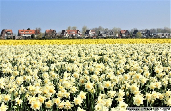 Narcissen in de Bollenstreek, Nederland