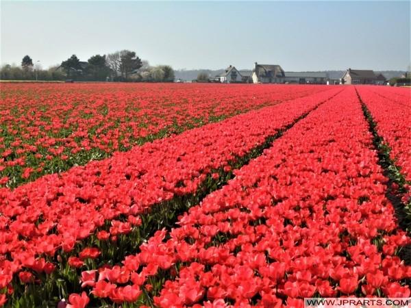 荷兰花田在灯泡区域