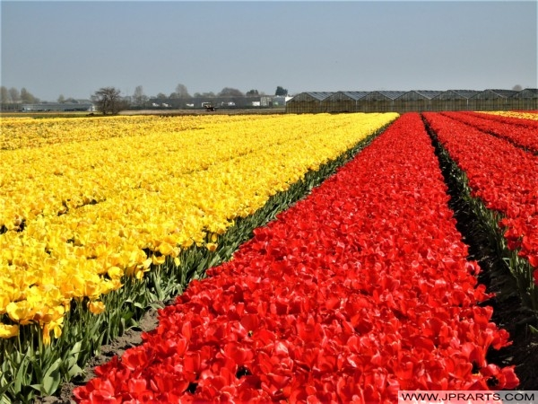Flower Industry in the Netherlands