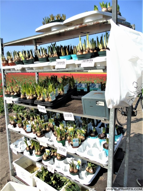 Sale of Flower Bulbs in the Dutch Bulb Region