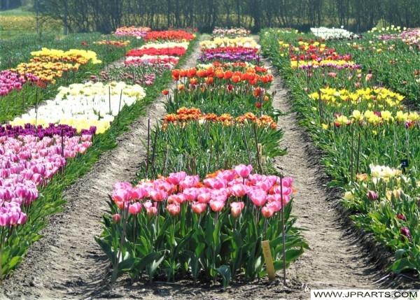 Tulip Farm in the Bollenstreek, the Netherlands