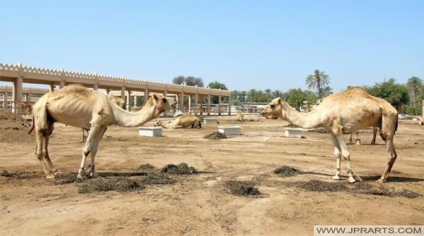 الجمل في مزرعة الجمال الملكي في البحرين