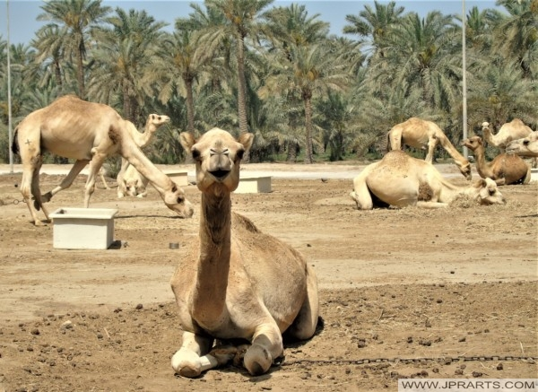 Camel Sitting in the Royal Camel Farm ( Janabiyah, Bahrain)