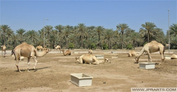 Feeding Bowls for the Camels on the Camel Farm in Bahrain