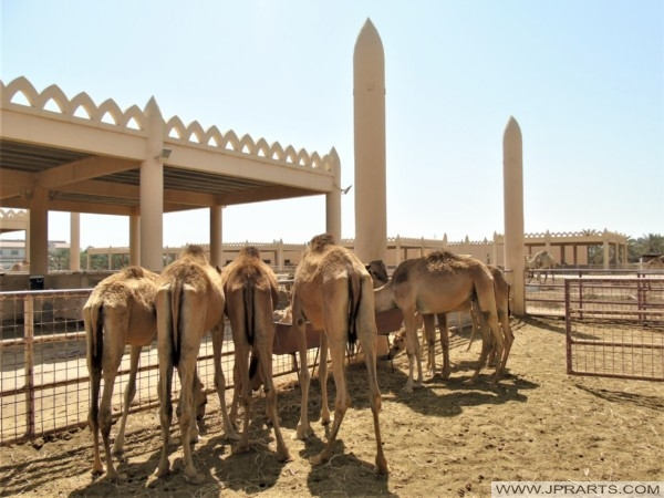 Feeding the camels on the Royal Camel Farm in Bahrain