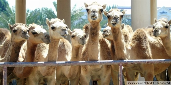 Funny Camels at the Royal Camel Farm in Bahrain
